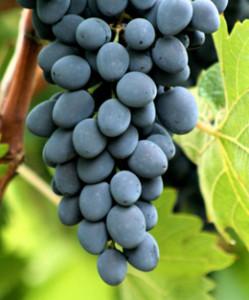 Вино в домашних условиях из винограда